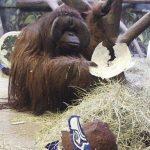 El orangután Eli con un casco de papel maché que tiene el logotipo de los Seahawks de Seattle, a quienes escogió para ganar el Super Bowl a los Broncos de Denver.