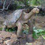 Solitario George no cuenta con sitio en Galápagos