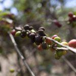 A la roya del café se la ha unido la antracnosis, un hongo que afecta a las plantas de sombra como cafeto.