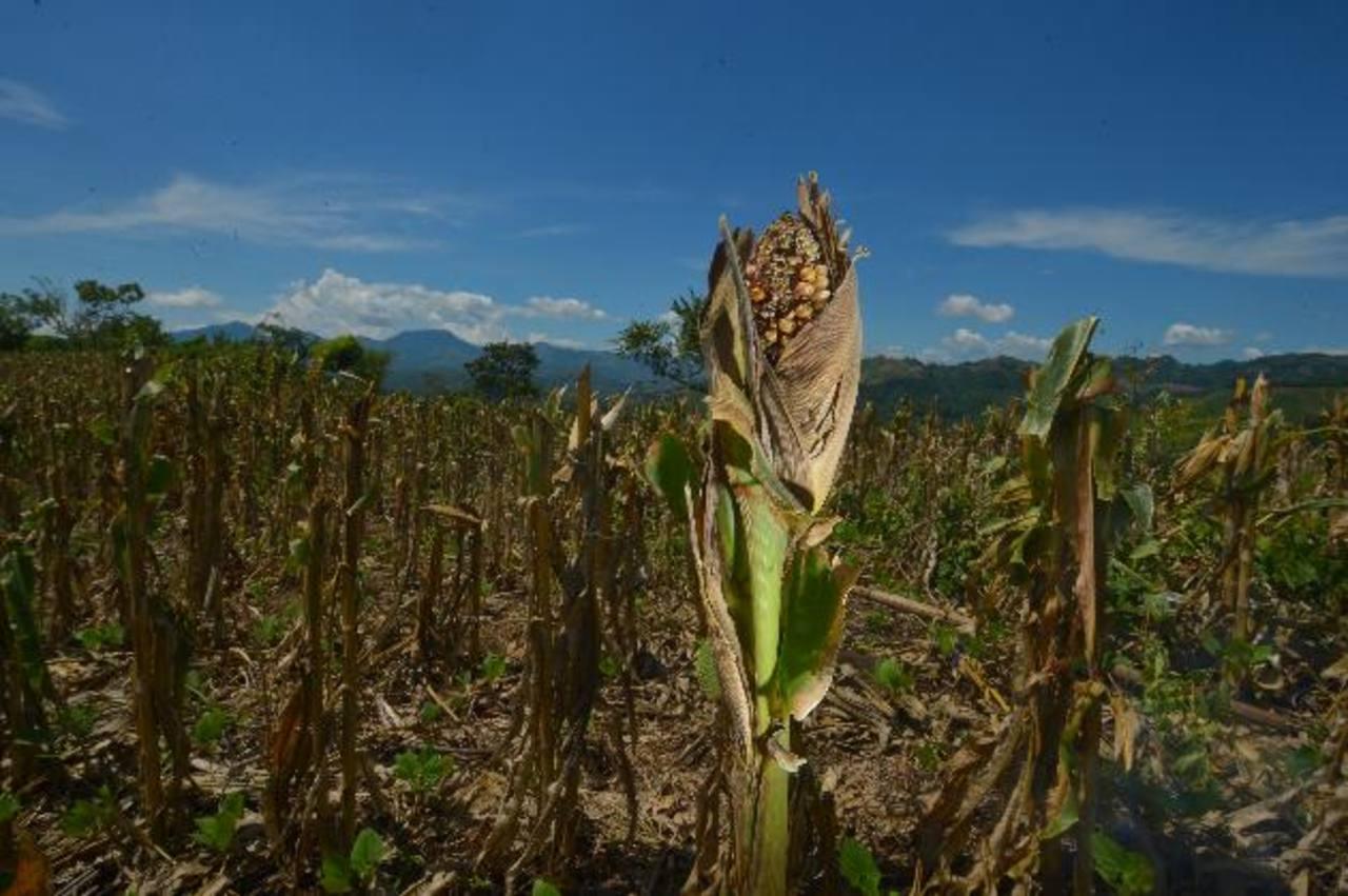 La situación es similar en toda la zona. Muy pocos han podido recuperar parte del grano. foto edh / René Quintanilla