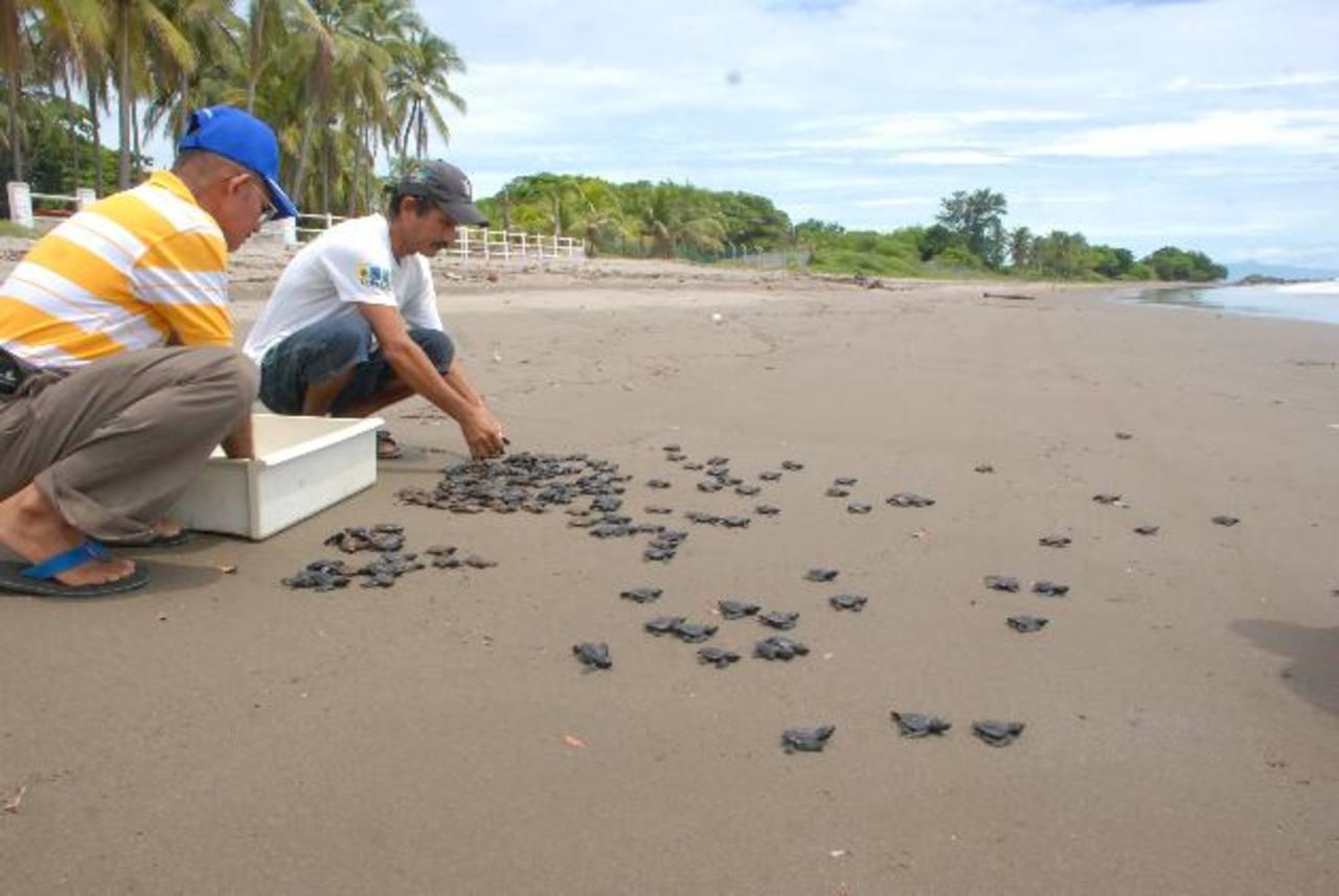 El mayor desove que se registra en la zona de oriente es en la costa de Conchagua.Instituciones como Funzel y Fundatamarindo apoyan el sostenimiento de los viveros de Maculís y El Tamarindo.