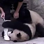 VIDEO: Bebés pandas se resisten a tomar su medicina