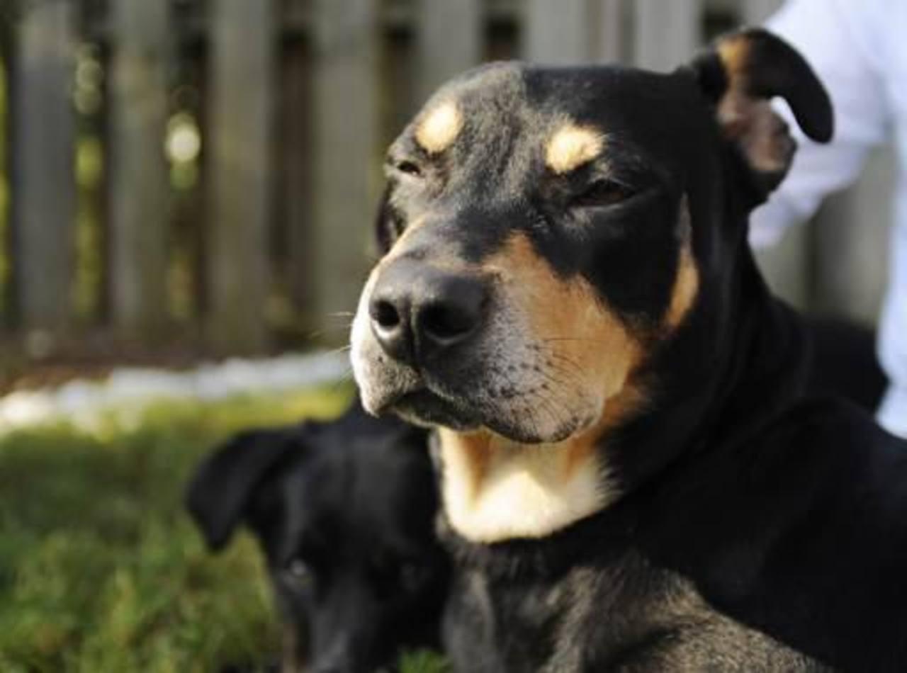 Lázaro, un perro criollo que sobrevivió a un accidente de automóvil y a intento de eutanasia, toma el sol en su nuevo hogar en Helena.