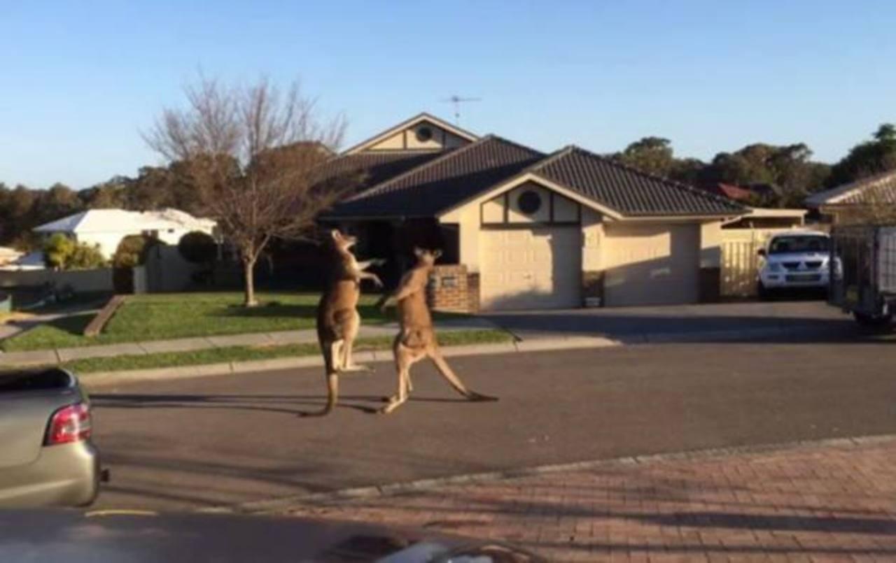 Video: ¿Dos canguros peleando en medio de la calle?