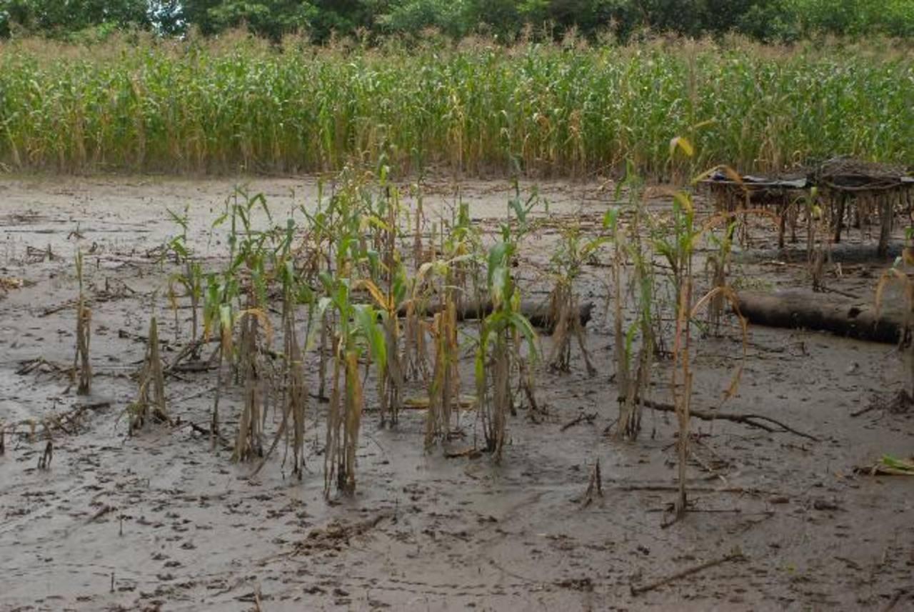 Sembradíos de maíz, maicillo, pasto, además de hortalizas, terminaron inundados por las lluvias. foto edh /Insy Mendoza.