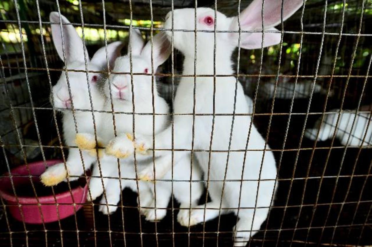 Los conejos deben tener entre 60 y 90 días para poder ser llevados al mercado. foto edh /