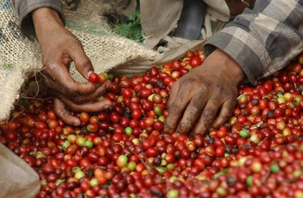 Exportaciones de café de El Salvador caen 57.5%