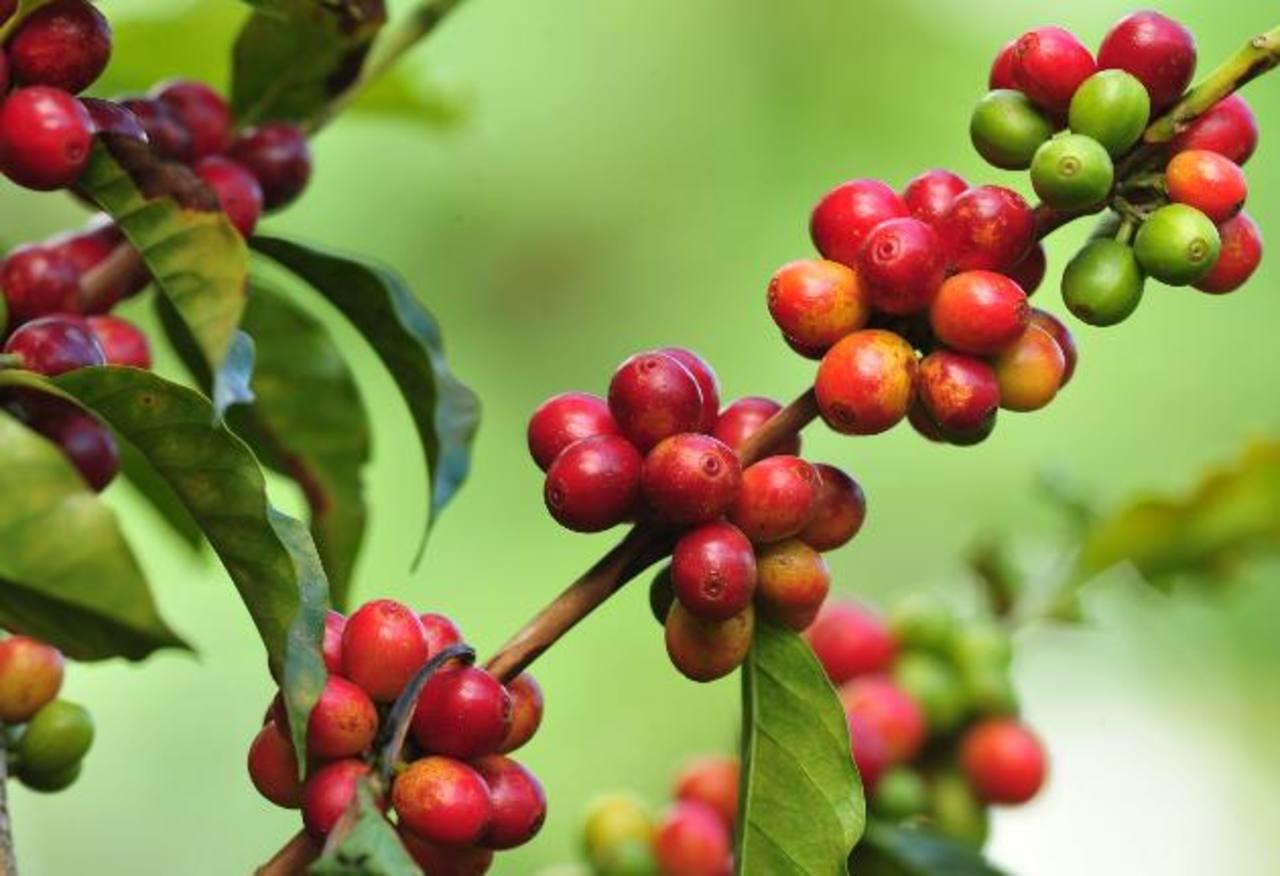 Las previsiones del Icafé indican que la cosecha del grano 2014-2015 crecerá un 4.5 % en comparación con la anterior.