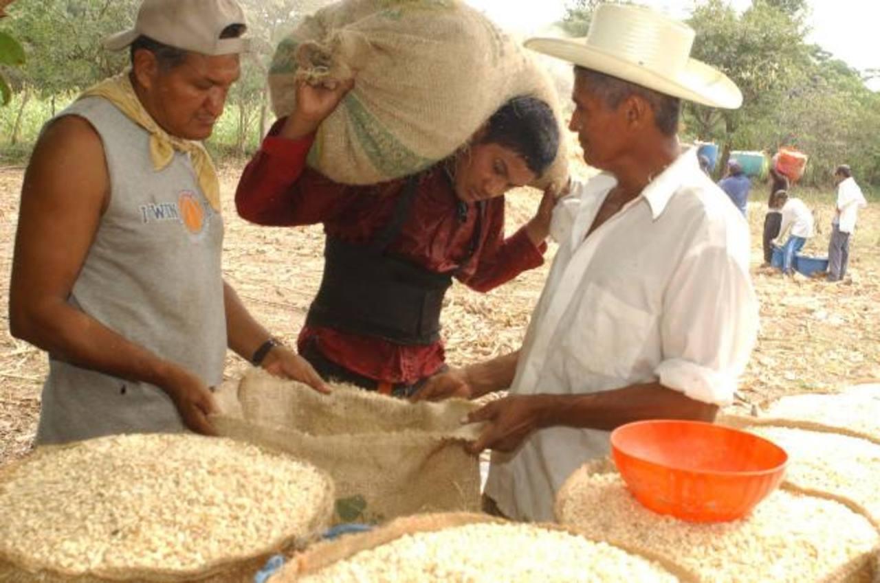 La cosecha de maíz fue afectada en julio por la sequía, pero ahora se podrían recuperar varios de los agricultores. foto edh / archivo.