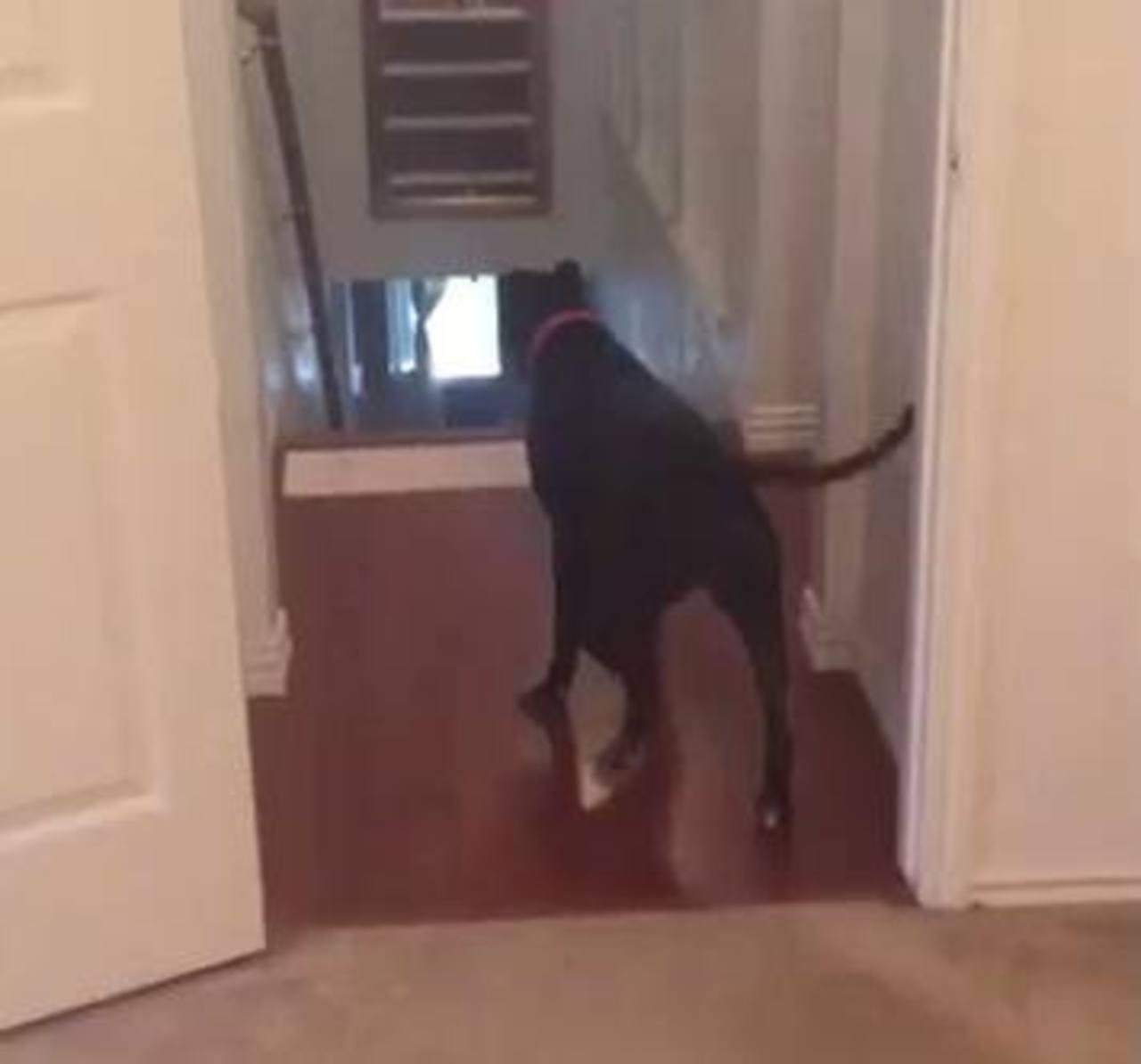 VIDEO: Pitbull cruza las puertas en reversa por miedo