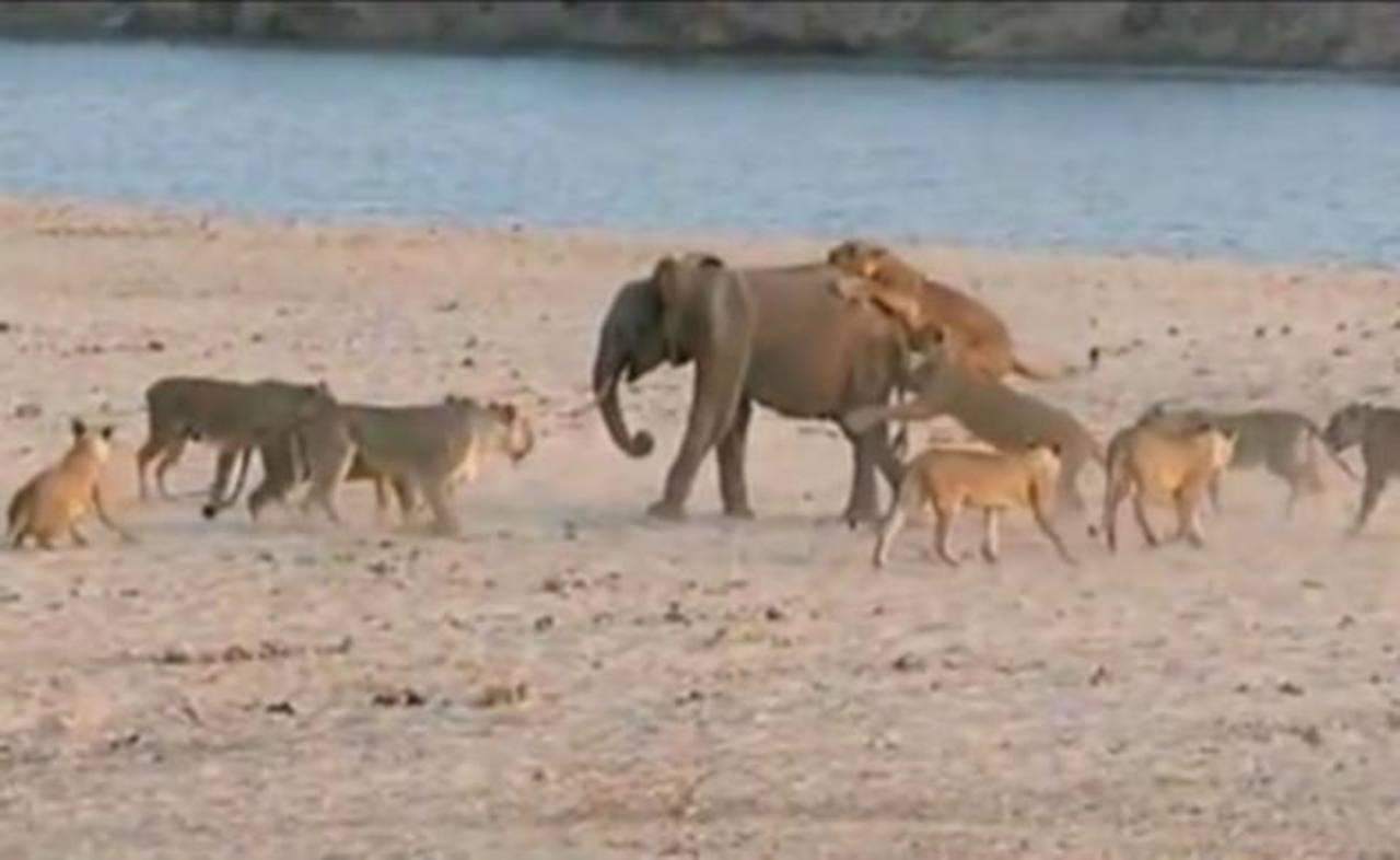 Video: Hércules, la cría de elefante que sobrevivió al ataque de 14 leonas
