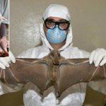 Murciélagos portadores de ébola podrían ser héroes y no sólo villanos