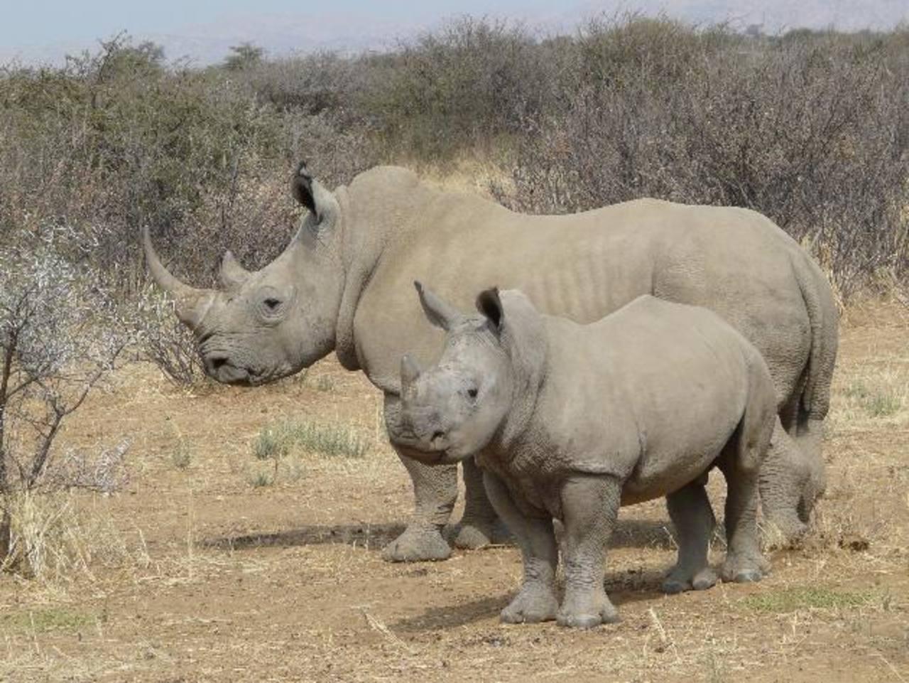 Miles de rinocerontes han muerto en los últimos años debido a las cualidades curativas y sexuales que se atribuyen a las pócimas hechas con su cuerpo. foto EDH