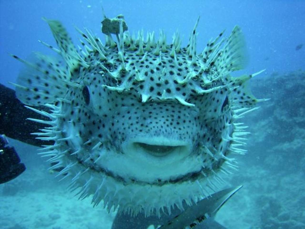 El pez globo de la China, una de las especies en peligro de extinción, según la nueva Lista Roja de la Unión Internacional para la Conservación de la Naturaleza (IUCN).
