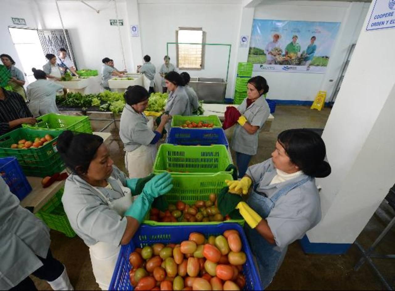 Mujeres limpian tomates en el centro de distribución situado en Los Planes, Chalatenango. Foto edh /DOUGLAS URQUILA