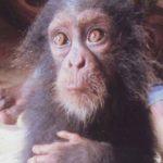 Hallan a bebé chimpancé llorando junto a su familia mutilada
