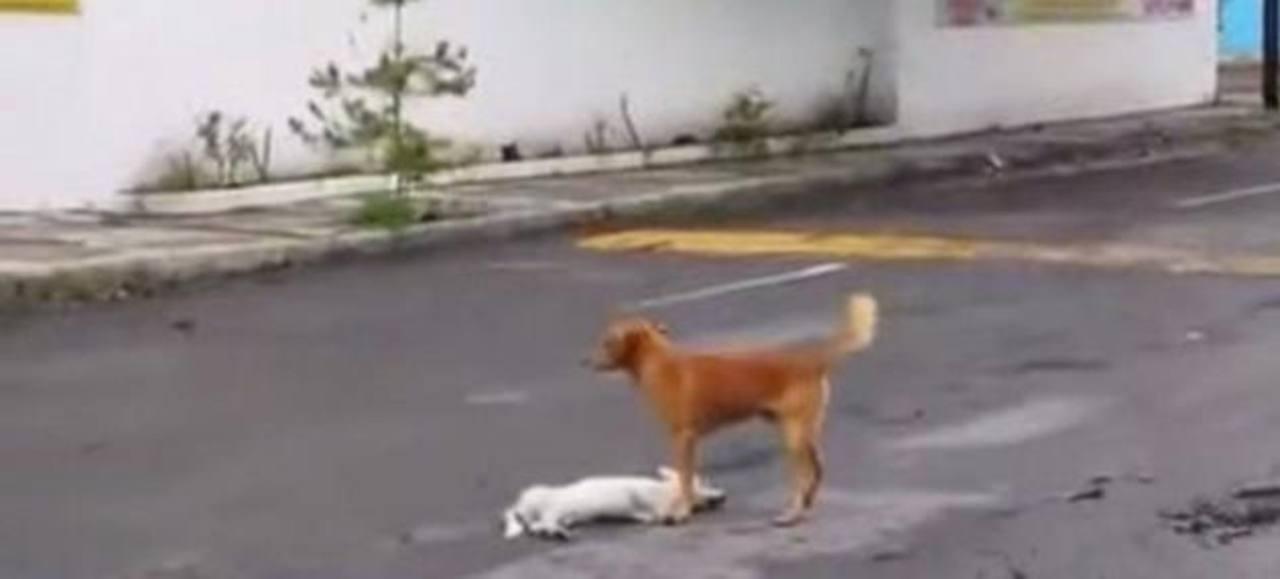 Video: Perro trata de auxiliar a su amigo atropellado