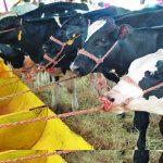 Los ganaderos deben mantener la inversión en alimentación de las vacas para que no baje la producción. foto edh / Archivo