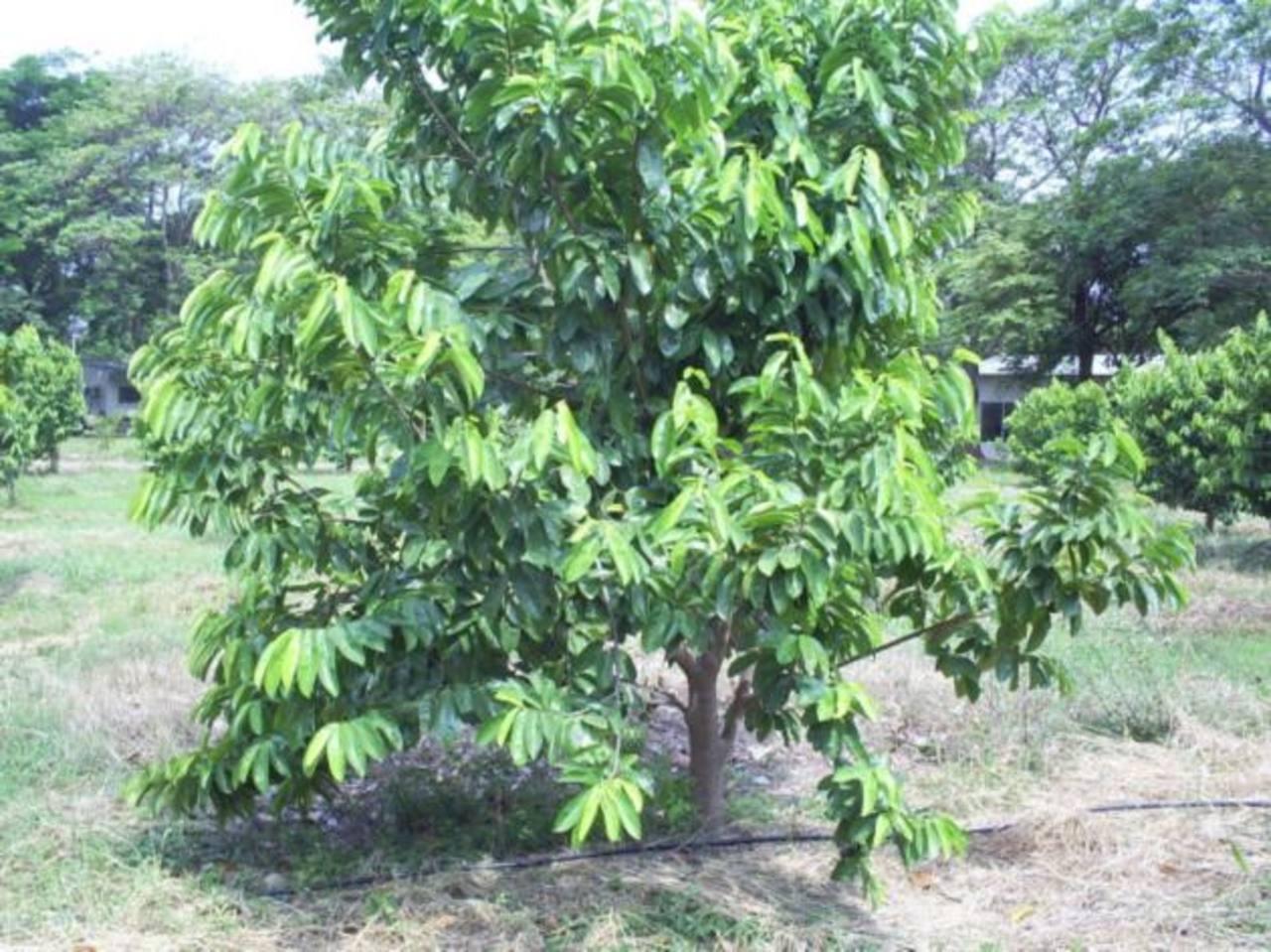 El guanabo es apetecido por su sabor y propiedades medicinales