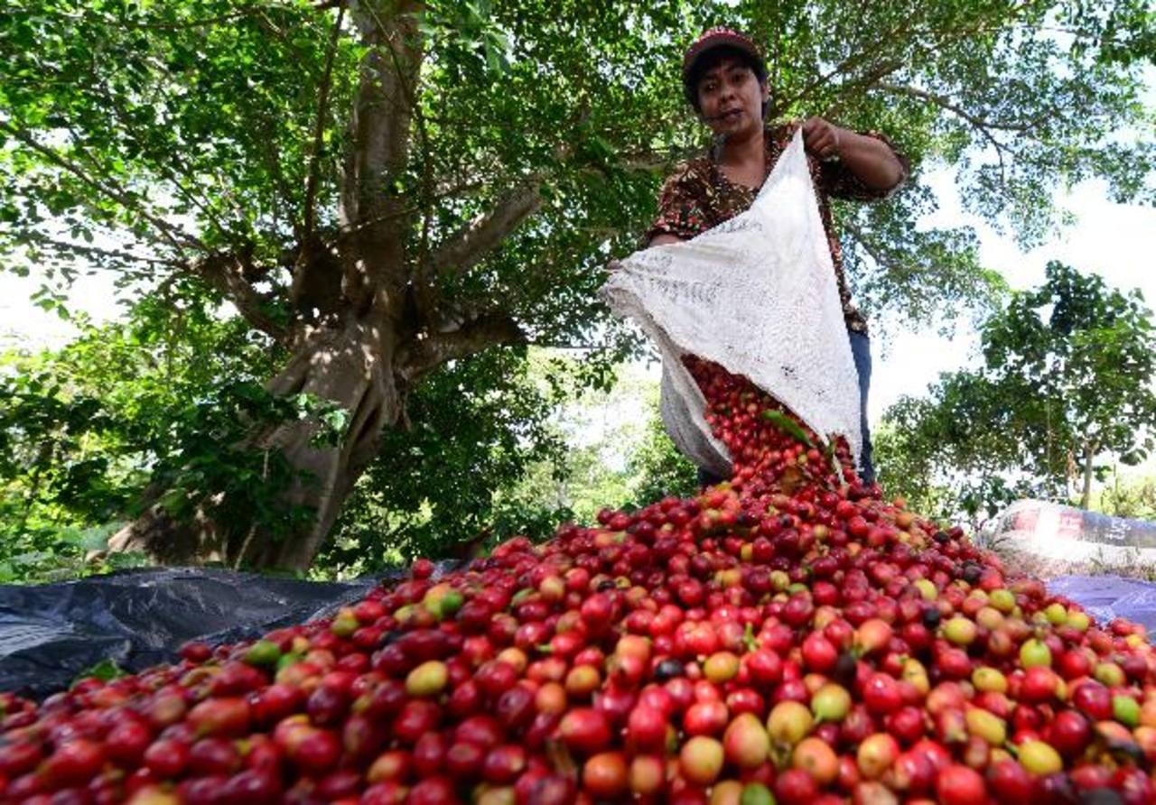 El Salvador destaca por la caída de su exportaciones por el impacto de la roya en la producción del café. foto edh / Archivo