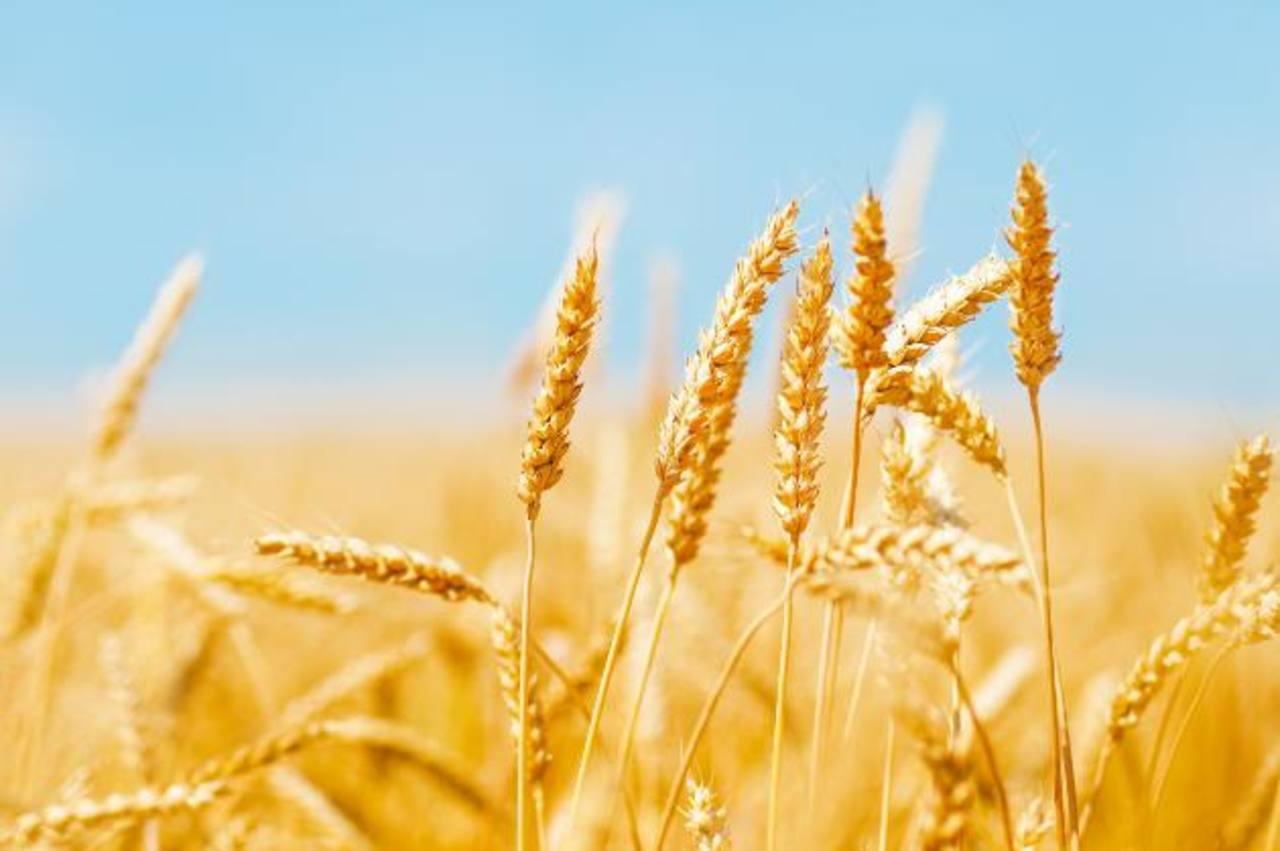 El aumento de la temperatura en el planeta afectará a la producción mundial de trigo, según el estudio.