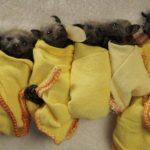 Video: Rescatan 100 bebés murciélagos por clima de Australia