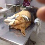 Perrita muere en Perú de un infarto por fuerte ruido de pólvora en Navidad