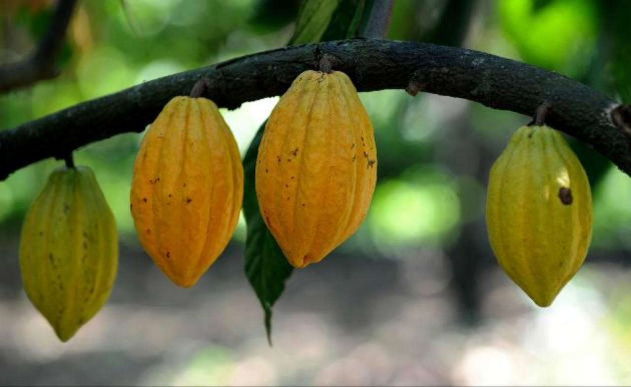 Las plantaciones de cacao requieren de unos cuatro años para producir la primera cosecha y luego producen unos 30 años.