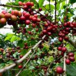 Se busca mejorar la productividad de las fincas de café.