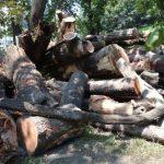 El 26 de marzo comenzó la tala en el parque Infantil de Diversiones. La madera no fue procesada por Secultura, y trabajadores solicitaron venderla para obtener fondos. Foto EDH / ARCHIVO