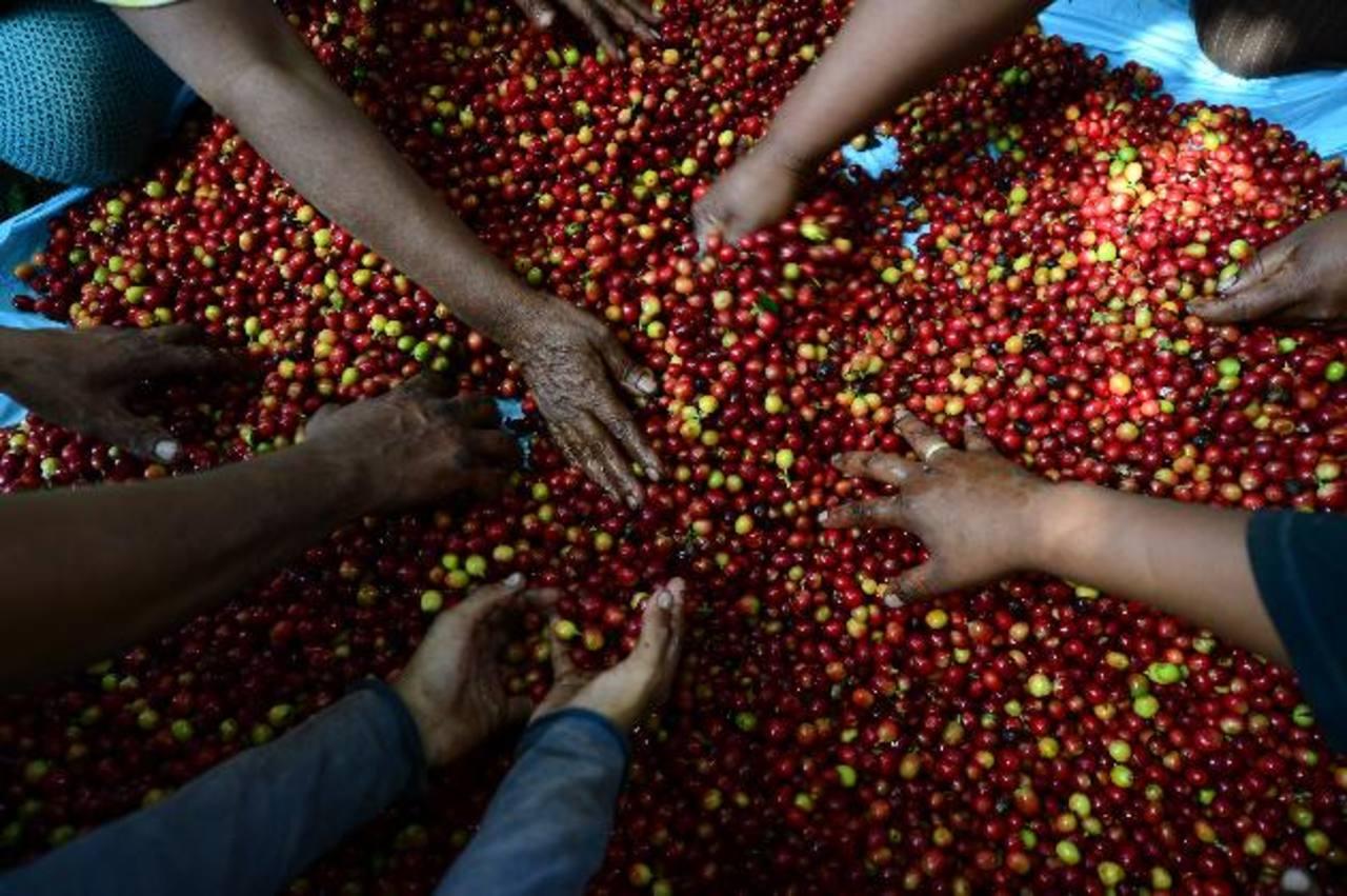 Al menos 818,800 quintales de café ha producido El Salvador en actual cosecha