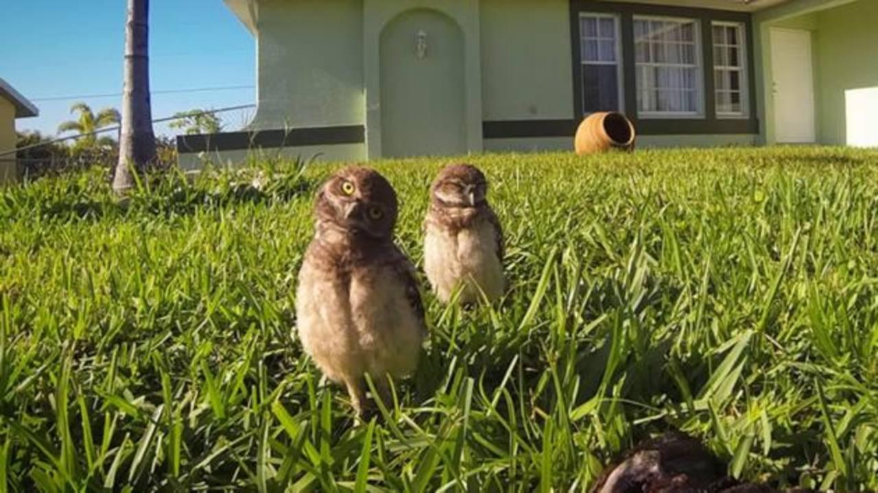 ¿Has visto cómo estos búhos bailan frente a la cámara?