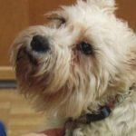 VIDEO: Perro se escapa de su casa para visitar a su dueña enferma de cáncer