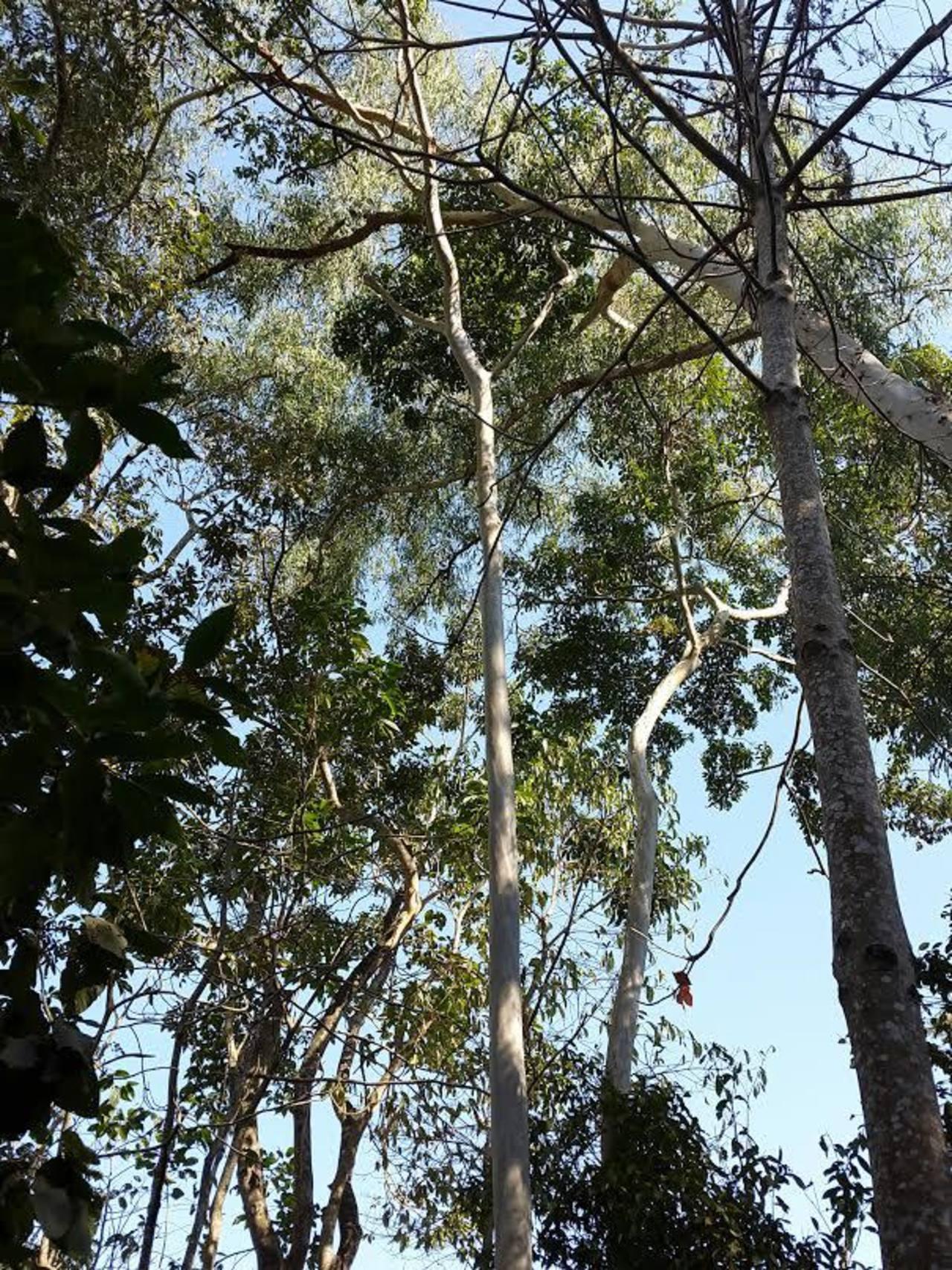 El caimito es óptimo par dar sombra a otros cultivos, además de brindar atractivo follaje y frutos agradables. Existen otras especies que se pueden aprovechar. Foto EDH/ Archivo