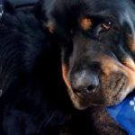 Video: Rottweiler llora y no se separa de su hermano muerto