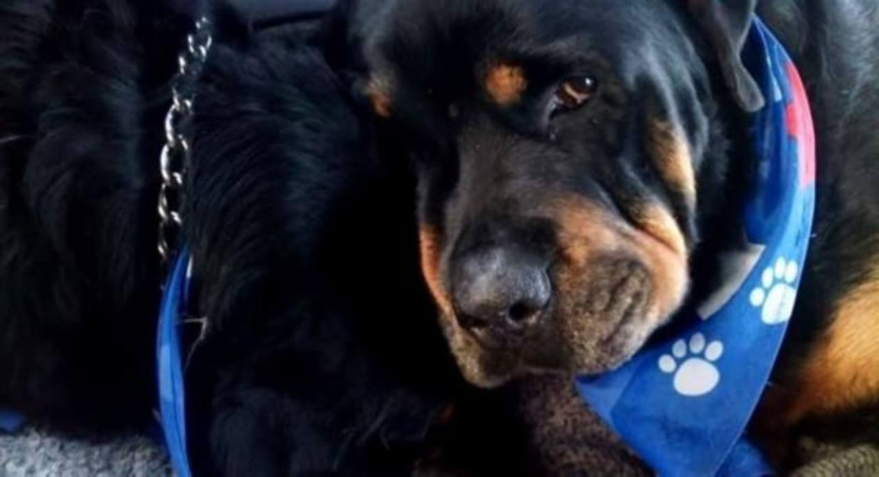 Video: Rottweiler llora y no se separa de su hermano muerto