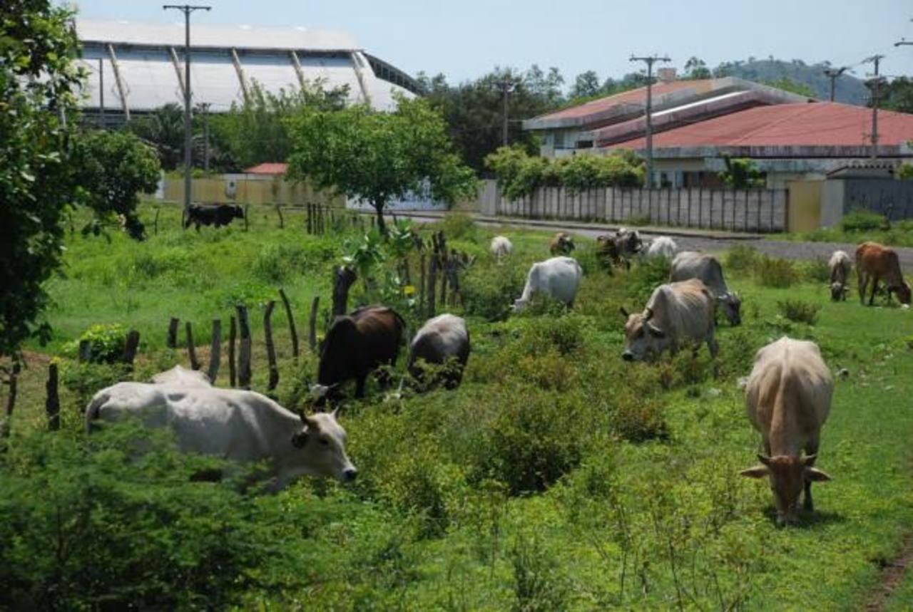 Los ganaderos aseguran que si les roban o hurtan una res adulta, pueden perder mil 500 dólares, pues es ganado muy productivo. Foto edh /Lucinda Quintanilla