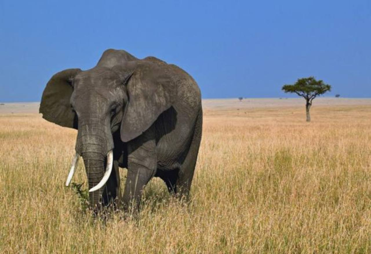 Club de Texas subasta cacería de elefantes africanos