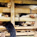 "Decomisan tres toneladas de ""gatos comestibles"" en Vietnam"