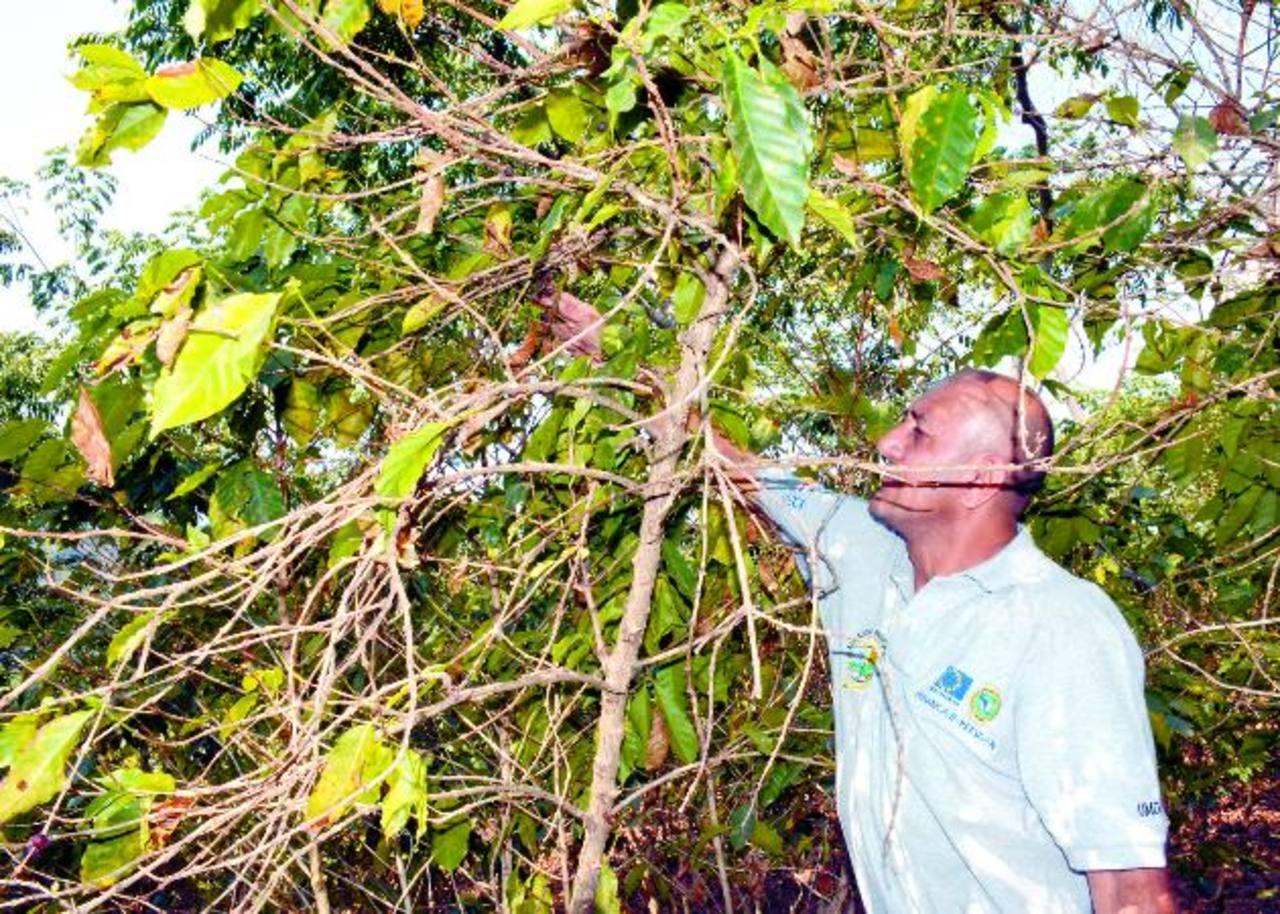 Aunque el Centa-Café es el encargado de la investigación, los productores señalan que no se les ve trabajando en el campo.