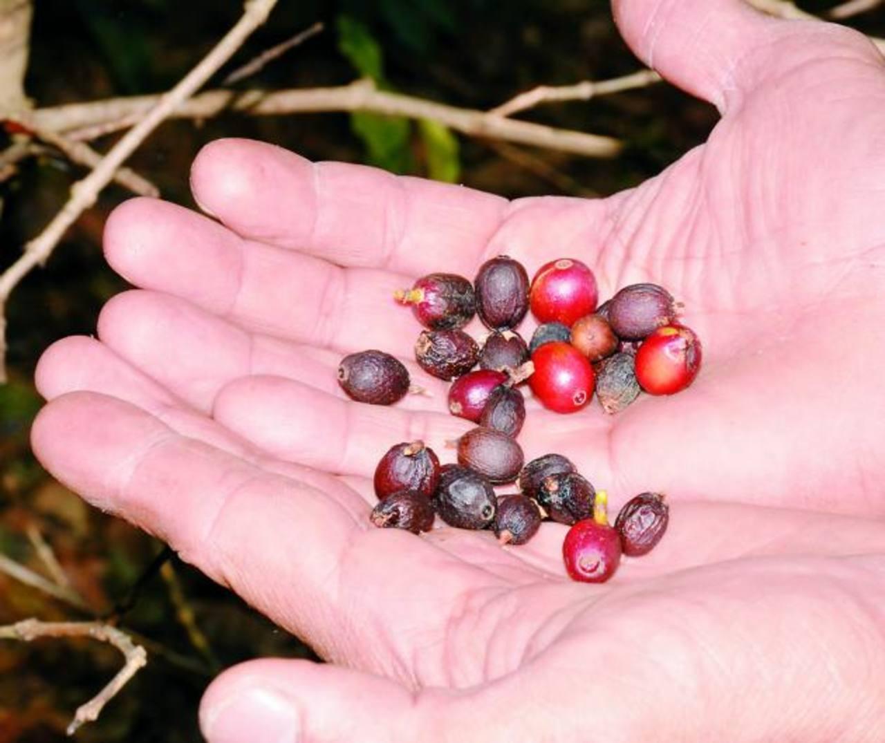 El 80 % de fincas de café tienen infestación de roya. Foto EDH