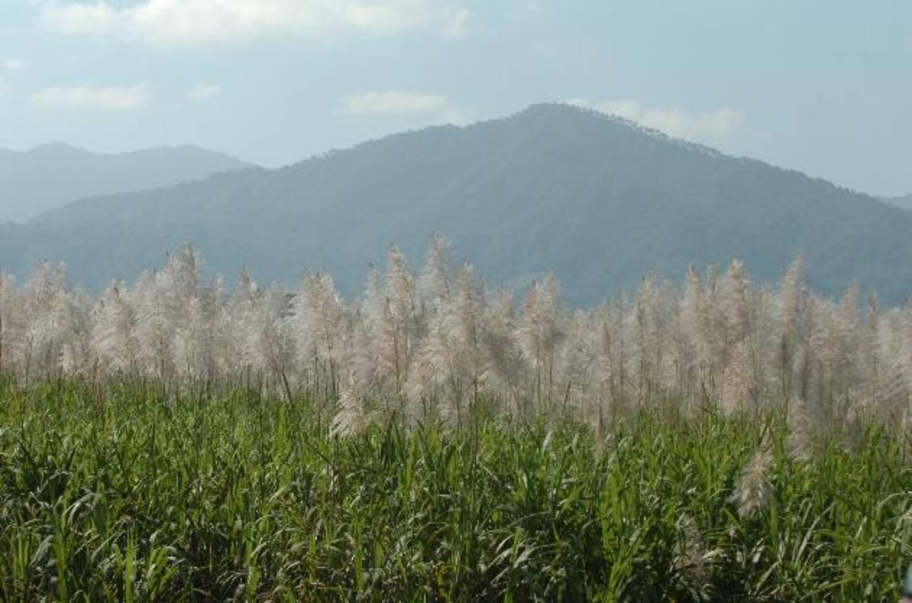 El cultivo de caña representa el 2.28 % del Producto Interno Bruto en El Salvador. Foto EDH/ Archivo
