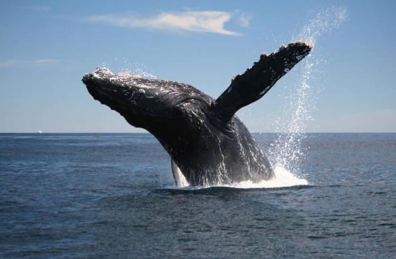 Una ballena jorobada sale a respirar a la superficie del mar en playa Los Cóbanos. Foto / cortesía Funzel.