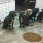 VIDEO: Niña logra controlar y alimentar a seis pitbulls