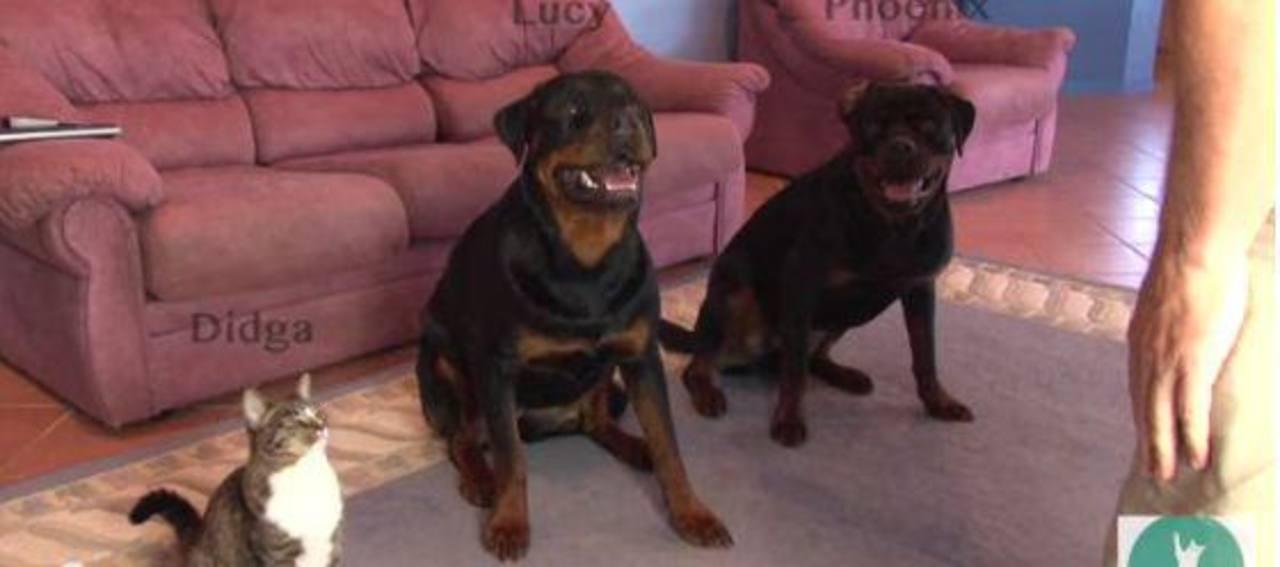 Gata que imita a dos perros Rottweiler es una sensación en la web