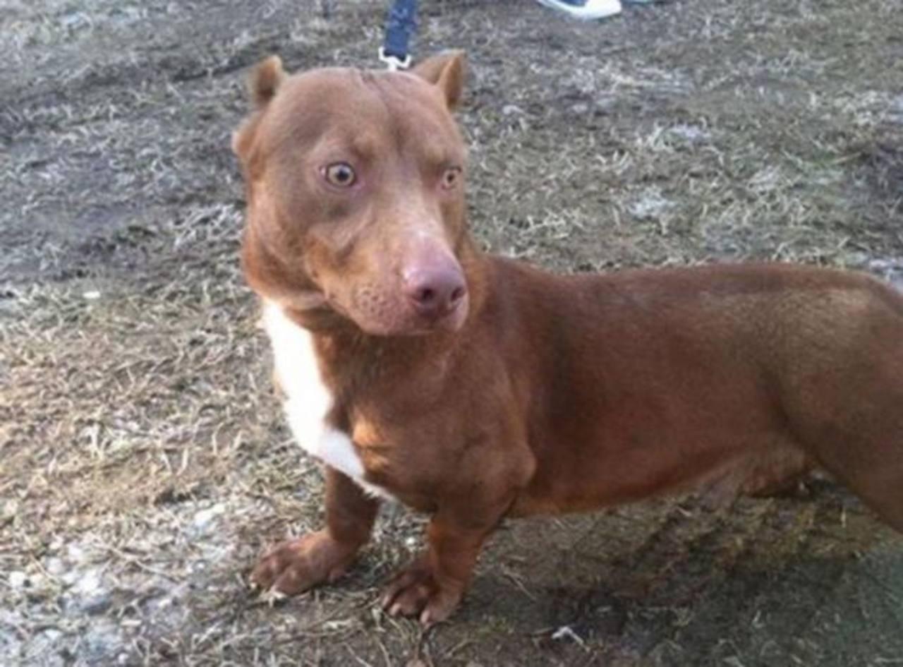Ponen en adopción a perro con cuerpo de salchicha y cabeza de pitbull