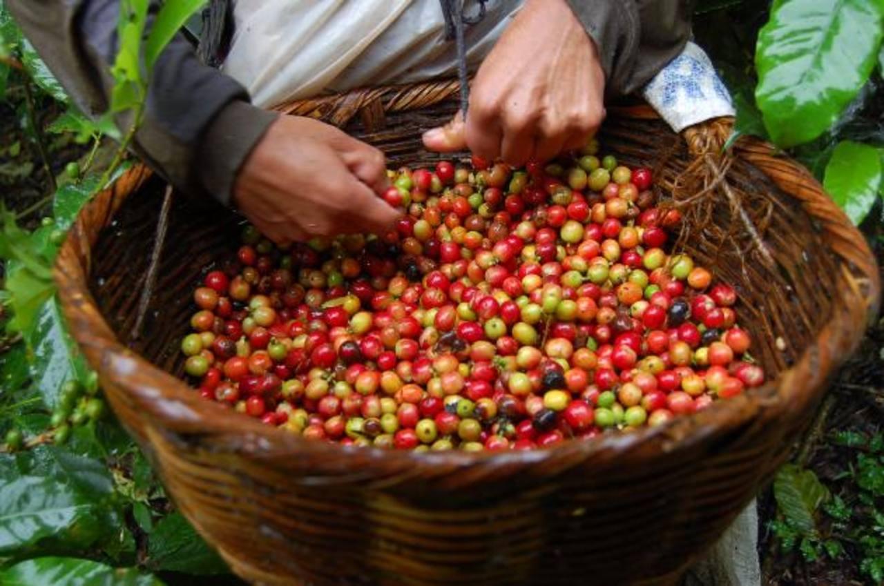 En 2014 el café produjo $394.5 Mlls. a la economía.