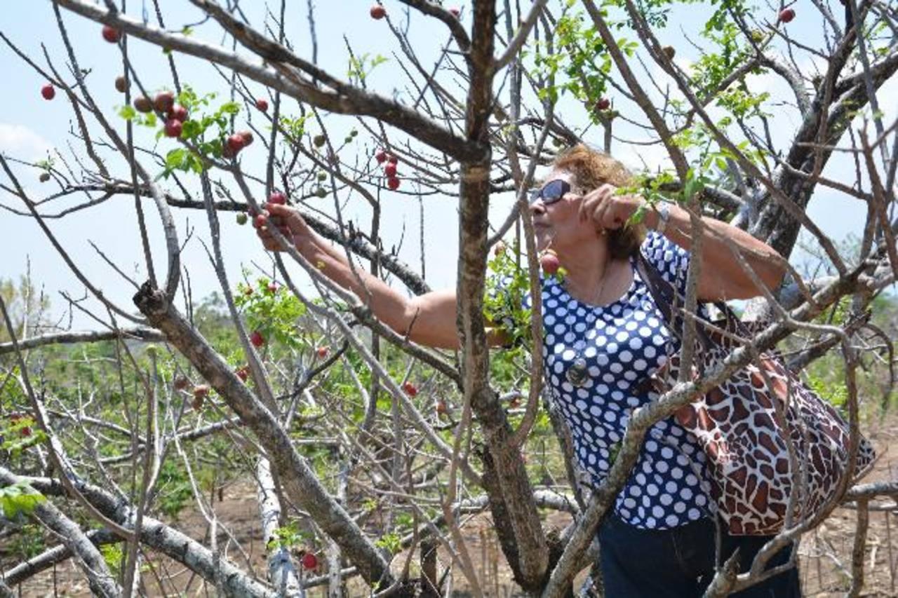 Jocote barón rojo, Apuesta agroturística en San Lorenzo