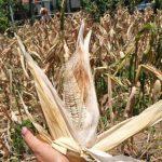 Se prevé que este año El Niño afectará al agro en C.A.