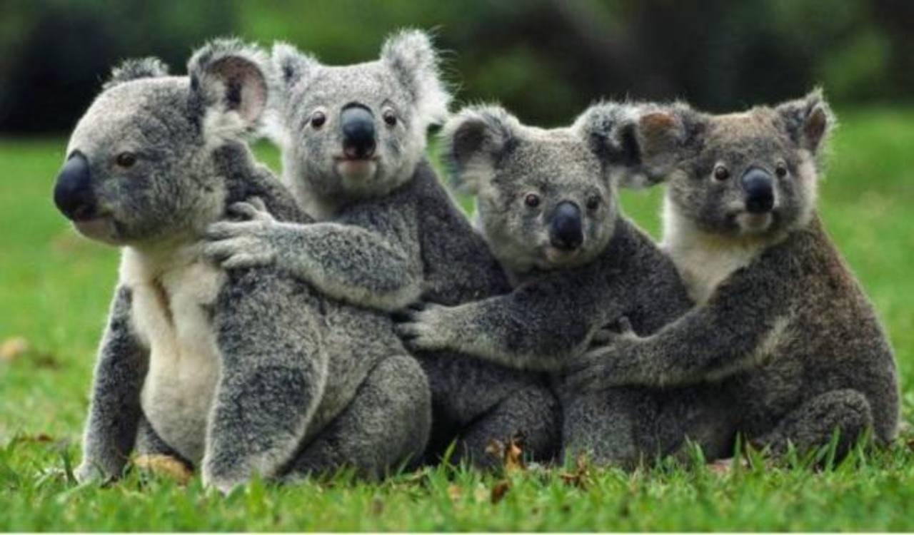 """Australia sacrifica a unos 700 koalas por """"problemas de superpoblación"""""""